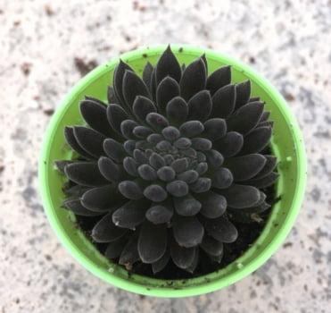 Sinocrassula yunnanensis