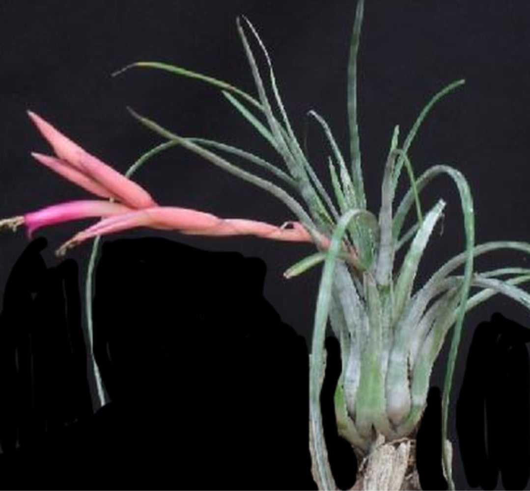 Tillandsia Paraiensis